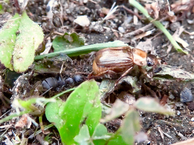 アリに襲われてるセマダラコガネ - 12