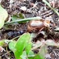 Photos: アリに襲われてるセマダラコガネ - 12