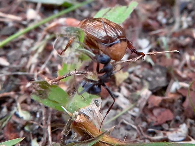 アリに襲われてるセマダラコガネ - 15