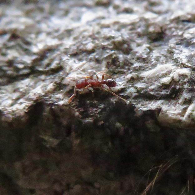 小さくて赤いアリ - 2