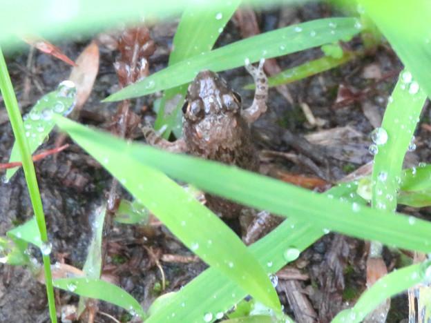 草むらの中にいた小さなヌマガエル - 3