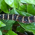 とりあえず葉っぱの上に置いた雨降る地面を歩いていた黒いイモムシ - 1
