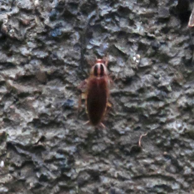 モリチャバネゴキブリ - 7