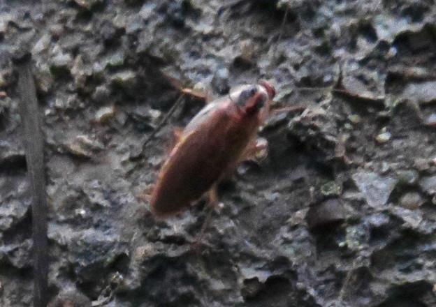 モリチャバネゴキブリ - 8