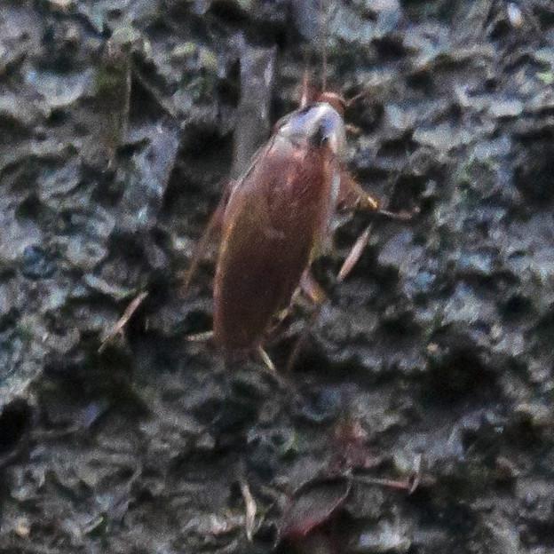 モリチャバネゴキブリ - 9