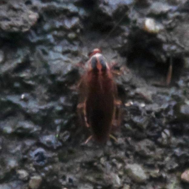 モリチャバネゴキブリ - 10