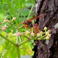 Photos: 小さい花の蜜を集めてたアシナガバチ - 1