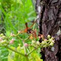 Photos: 小さい花の蜜を集めてたアシナガバチ - 2