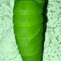 サナギに変身中と見られるナミアゲハの幼虫 - 3