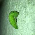 サナギに変身中と見られるナミアゲハの幼虫 - 4