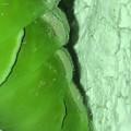 サナギに変身中と見られるナミアゲハの幼虫(2020年7月11日)- 5