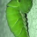 Photos: サナギに変身中と見られるナミアゲハの幼虫(2020年7月11日)- 7