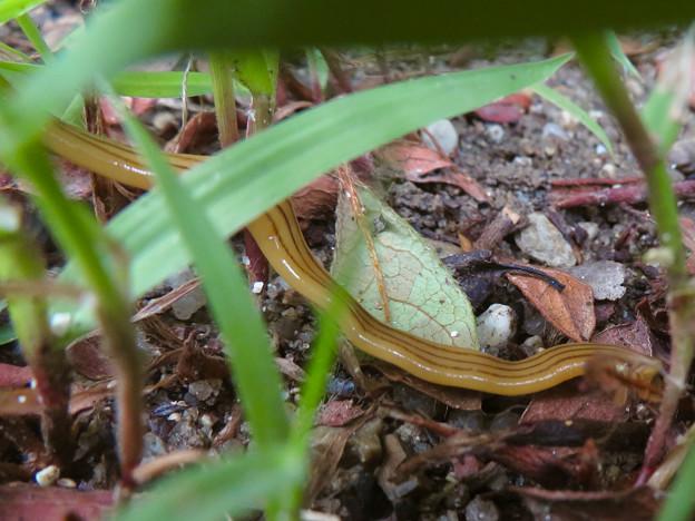草むらにいたオオミスジコウガイビル - 8