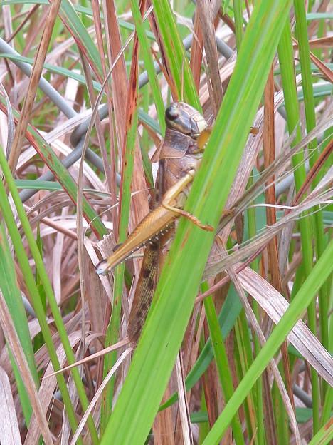 草むらにいたツチイナゴ - 1