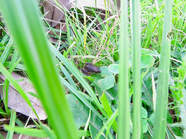 草むらにいたヌマガエル - 1