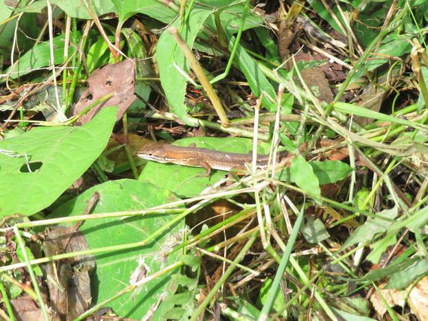 地面で奇妙な動きをしてたカナヘビ - 1