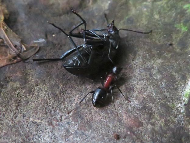 キマワリの死骸の周りをまわるムネアカオオアリ - 1