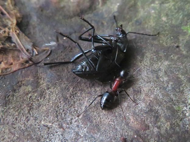 キマワリの死骸の周りをまわるムネアカオオアリ - 2
