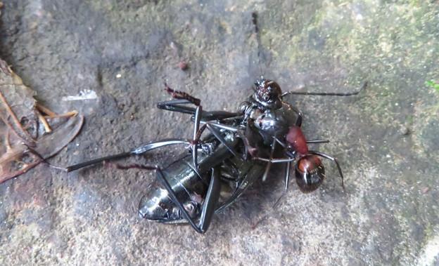 キマワリの死骸の周りをまわるムネアカオオアリ - 3