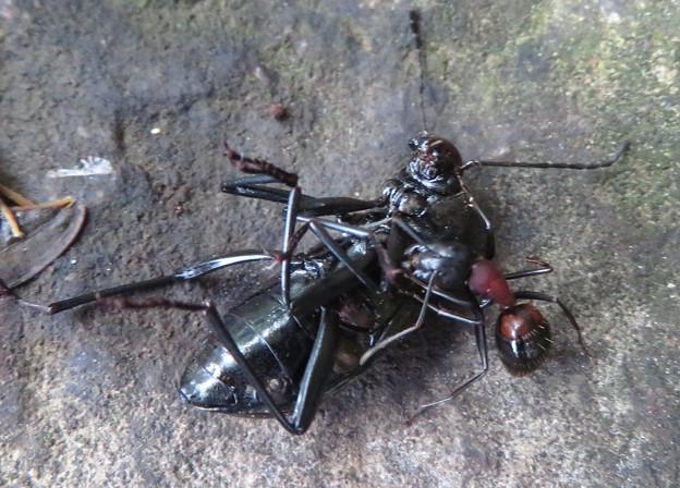 キマワリの死骸の周りをまわるムネアカオオアリ - 4