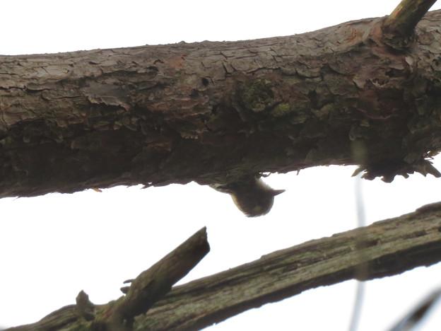 弥勒山の山頂にいたコゲラ - 1:木の下側から顔を出した所
