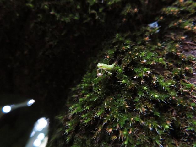 ふれあいの森にいたクワキヨコバイの幼虫? - 5