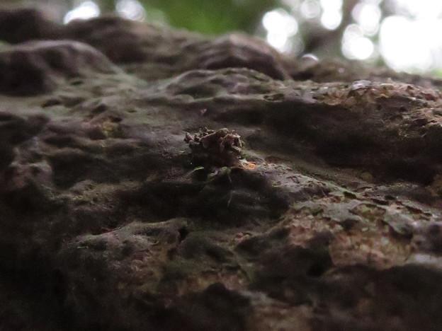 小さいヤドカリの様なクサカゲロウの幼虫? - 3