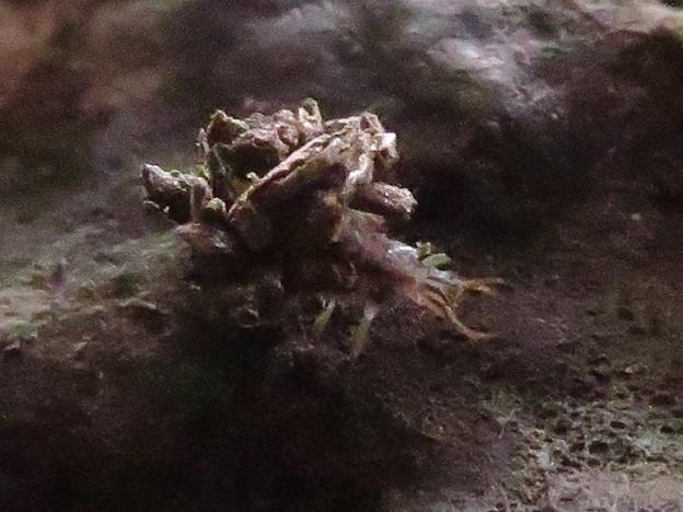 小さいヤドカリの様なクサカゲロウの幼虫? - 7