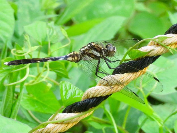 宮滝大池沿いにいたシオカラトンボのメス