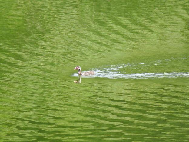 宮滝大池にいたカイツブリの親子 - 1