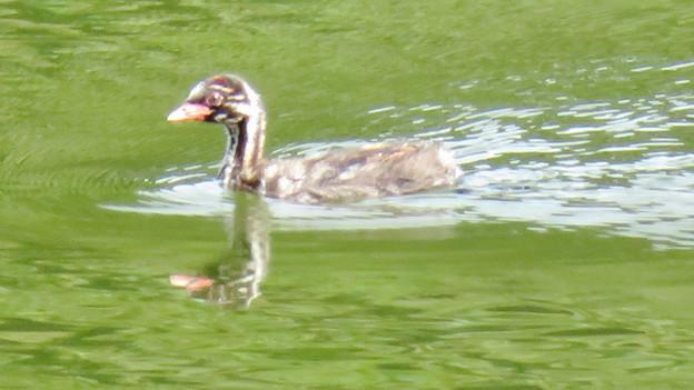 宮滝大池にいたカイツブリの親子 - 2