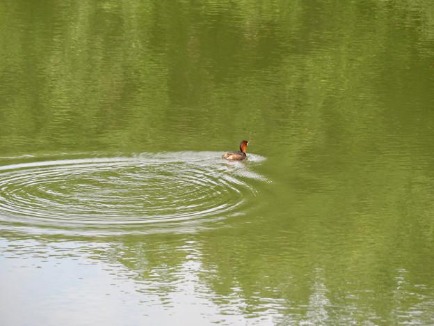 宮滝大池にいたカイツブリの親子 - 3