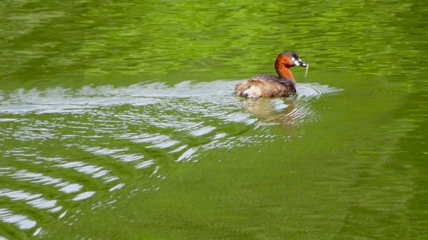 宮滝大池にいたカイツブリの親子 - 6