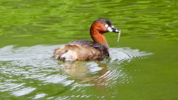 宮滝大池にいたカイツブリの親子 - 7
