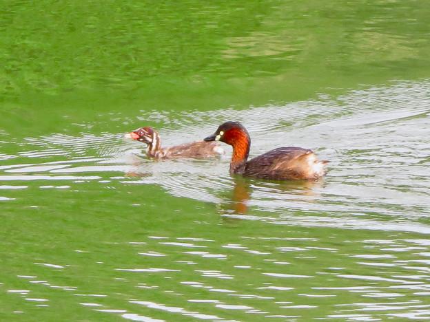 宮滝大池にいたカイツブリの親子 - 12
