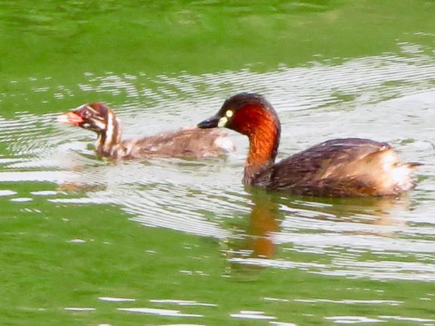 宮滝大池にいたカイツブリの親子 - 13