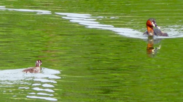 宮滝大池にいたカイツブリの親子 - 17