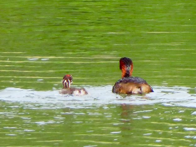 宮滝大池にいたカイツブリの親子 - 18