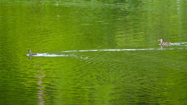 宮滝大池にいたカイツブリの親子 - 19