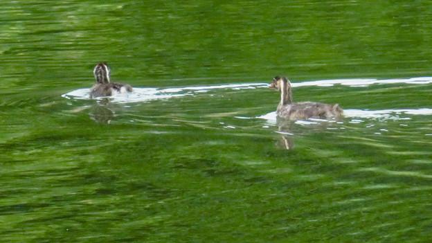 宮滝大池にいたカイツブリの親子 - 21