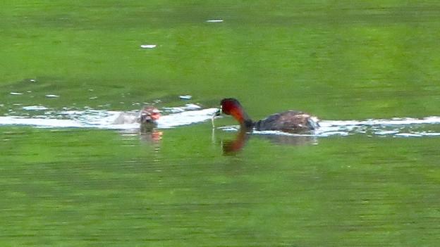 宮滝大池にいたカイツブリの親子 - 22