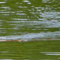 宮滝大池にいたカイツブリの親子 - 28