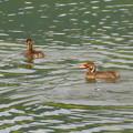 宮滝大池にいたカイツブリの親子 - 32
