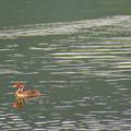宮滝大池にいたカイツブリの親子 - 34