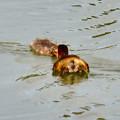 宮滝大池にいたカイツブリの親子 - 36