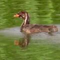 Photos: 宮滝大池にいたカイツブリの親子 - 40