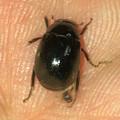 Photos: 5mmくらいの小さな黒い甲虫 - 2