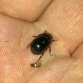 Photos: 5mmくらいの小さな黒い甲虫 - 3