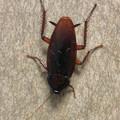 Photos: 壁にいたゴキブリ - 1