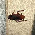 Photos: 壁にいたゴキブリ - 2